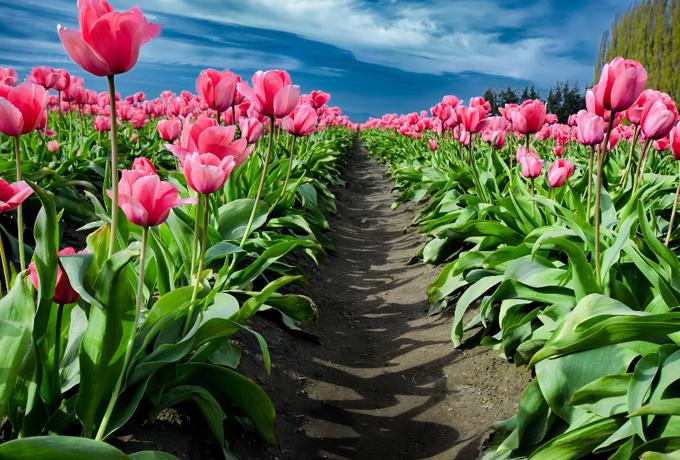 flower-fields
